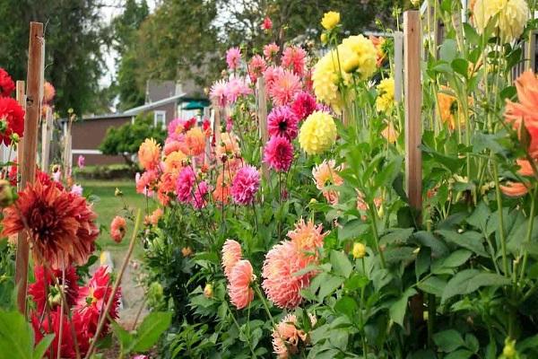 Hoa Thược Dược - Ý nghĩa, cách trồng và chăm sóc hoa nở vào dịp Tết - 5