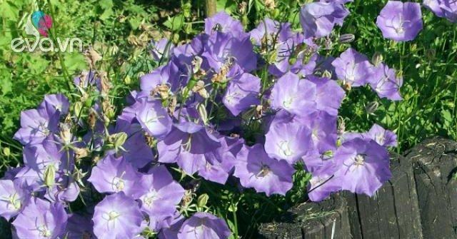 Hoa chuông có những loại nào, ý nghĩa và cách trồng ra hoa đẹp