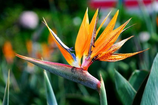 Hoa Thiên Điểu - Sự tích, ý nghĩa và cách cắm hoa đẹp - 1