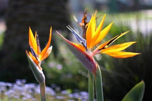 Hoa Thiên Điểu - Sự tích, ý nghĩa và cách cắm hoa đẹp - 3