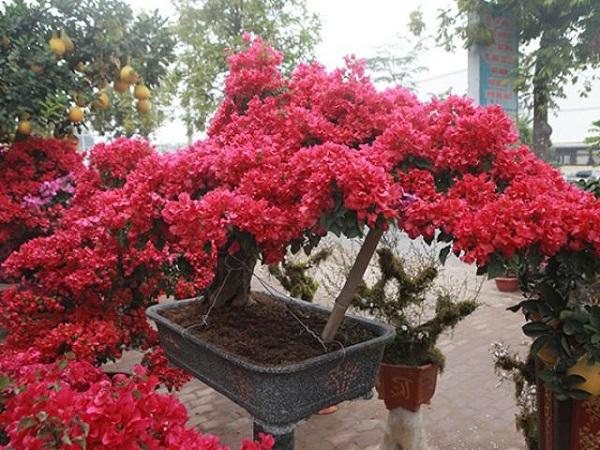 Cách trồng cây Hoa Giấy đẹp cho ra hoa quanh năm