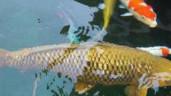Cá Koi khổng lồ dài gần 1,2 mét ở TP.HCM
