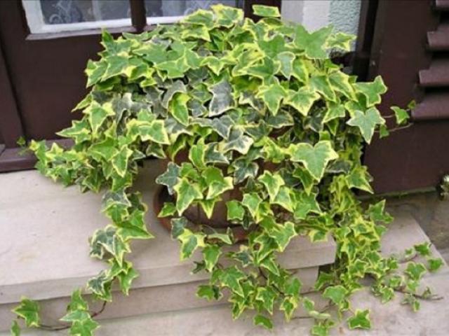 Cây Thường Xuân - Đặc điểm, ý nghĩa, cách trồng và chăm sóc đúng cách