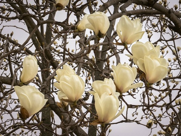 Cây Hoa Mộc Lan - Ý nghĩa và cách trồng giúp hoa nở đẹp - 10
