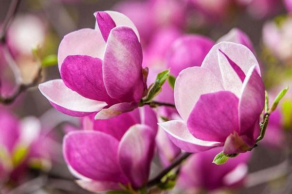 Cây Hoa Mộc Lan - Ý nghĩa và cách trồng giúp hoa nở đẹp - 6