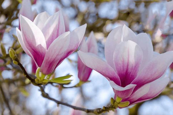 Cây Hoa Mộc Lan - Ý nghĩa và cách trồng giúp hoa nở đẹp - 3