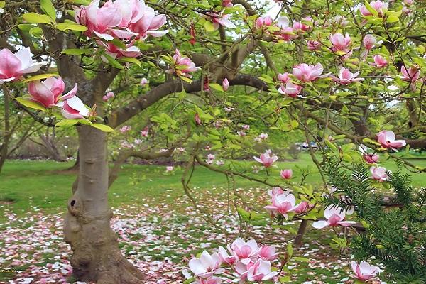 Cây Hoa Mộc Lan - Ý nghĩa và cách trồng giúp hoa nở đẹp - 9