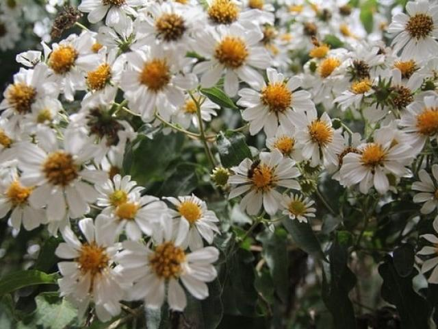 Ý nghĩa hoa Xuyến Chi và những tác dụng tuyệt vời trong đời sống