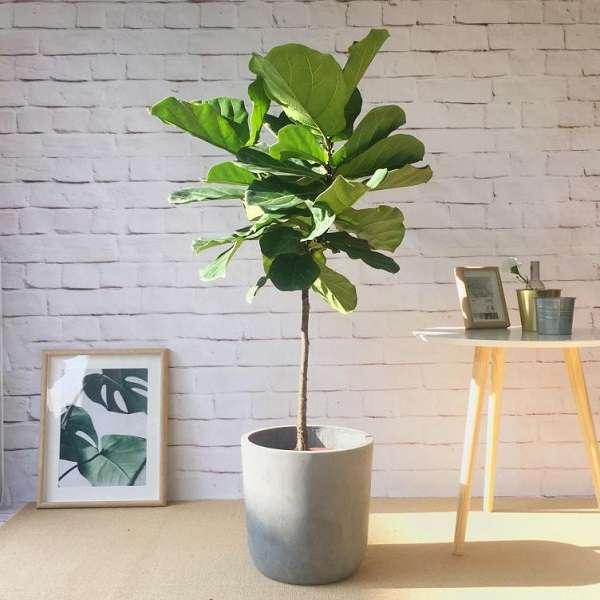 Cây Bàng Singapore - Ý nghĩa phong thủy, cách trồng và chăm sóc - 3