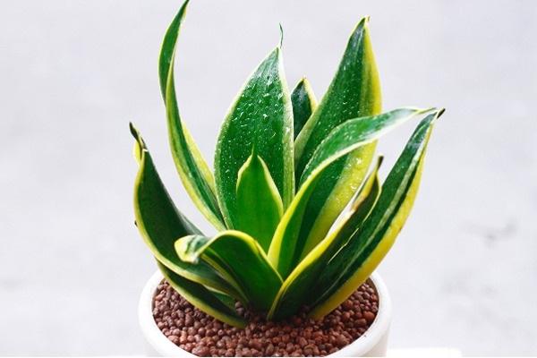 12 loại cây phong thủy theo tuổi, mệnh mang lại tài lộc và sức khỏe - 3
