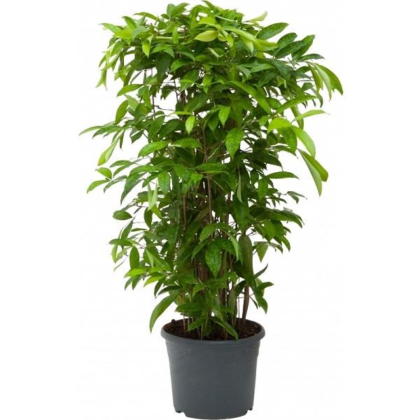 12 loại cây phong thủy theo tuổi, mệnh mang lại tài lộc và sức khỏe - 11