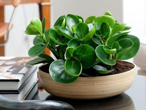 15+ Cây trồng trong nhà tốt nhất cho sức khỏe và phong thủy - 9