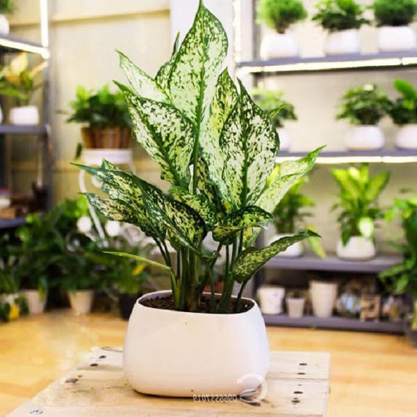 15+ Cây trồng trong nhà tốt nhất cho sức khỏe và phong thủy - 11