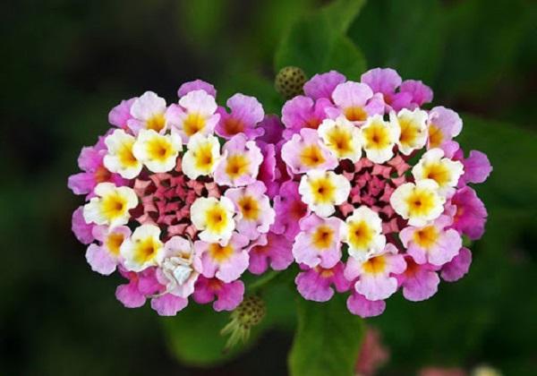 Hoa Ngũ Sắc - Ý nghĩa phong thủy, tác dụng và cách trồng tốt nhất - 5