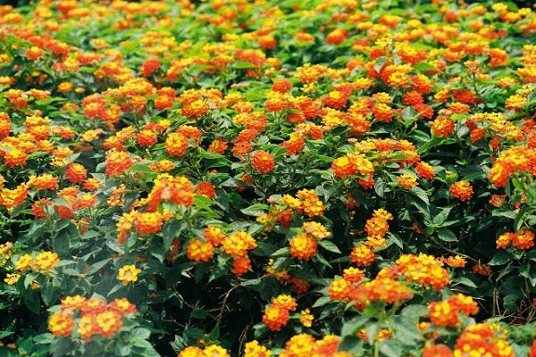 Hoa Ngũ Sắc - Ý nghĩa phong thủy, tác dụng và cách trồng tốt nhất - 4