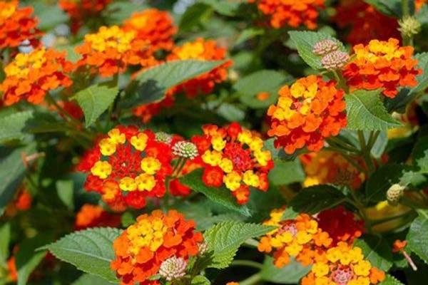 Hoa Ngũ Sắc - Ý nghĩa phong thủy, tác dụng và cách trồng tốt nhất - 1