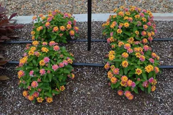 Hoa Ngũ Sắc - Ý nghĩa phong thủy, tác dụng và cách trồng tốt nhất - 3