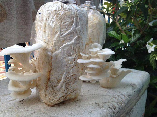 Ngồi nhà tự trồng 2 loại nấm mùa đông ăn cực ngon, đảm bảo chồng con mê tít - 3
