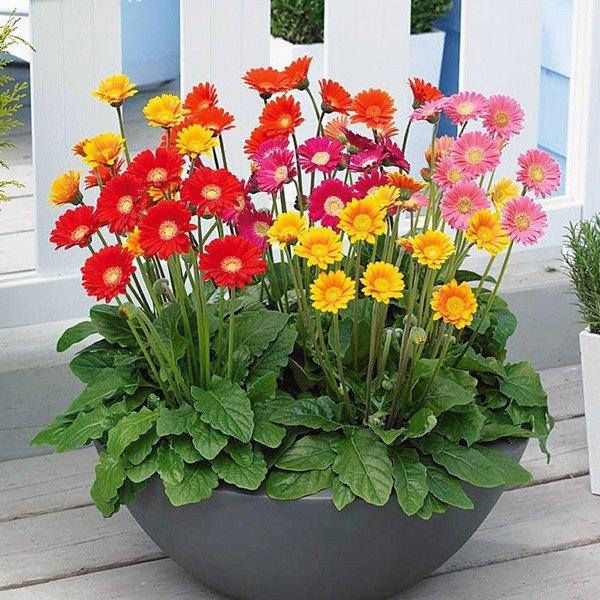 Cách trồng hoa đồng tiền đơn giản, cây cứng cáp, bung nở quanh năm - 1 Cách trồng hoa đồng tiền đơn giản, cây cứng cáp, bung nở quanh năm