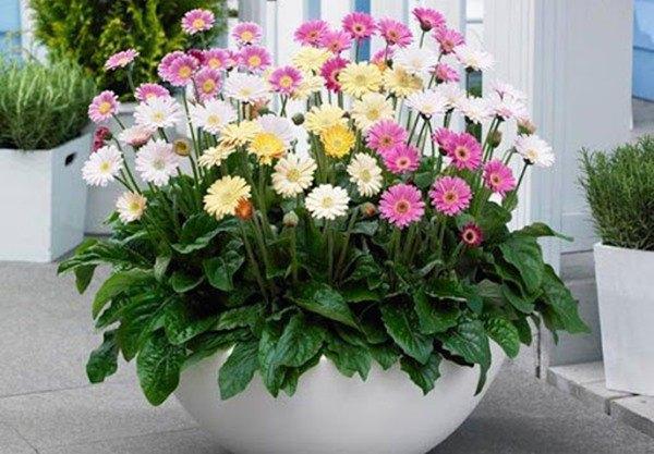 Cách trồng hoa đồng tiền đơn giản, cây cứng cáp, bung nở quanh năm - 3 Cách trồng hoa đồng tiền đơn giản, cây cứng cáp, bung nở quanh năm