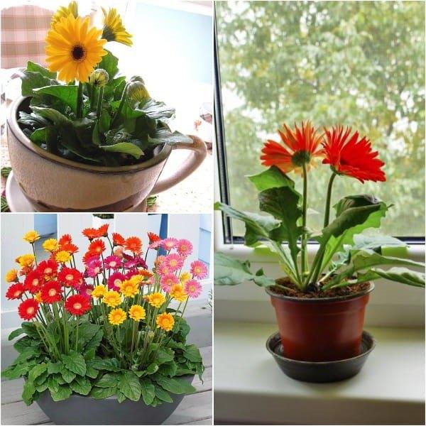 Cách trồng hoa đồng tiền đơn giản, cây cứng cáp, bung nở quanh năm - 5 Cách trồng hoa đồng tiền đơn giản, cây cứng cáp, bung nở quanh năm