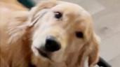 Phản ứng đáng thương của chó cưng khi không được chủ cưng nựng
